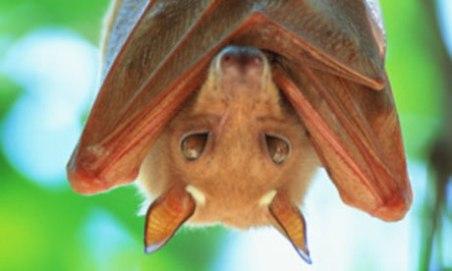A-fruit-bat-004